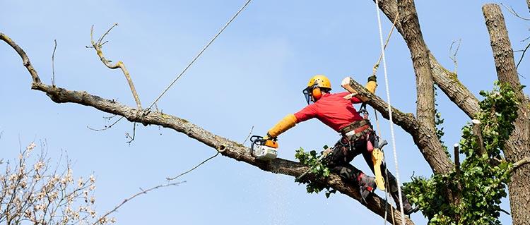 prix élagage d'arbres Montreuil